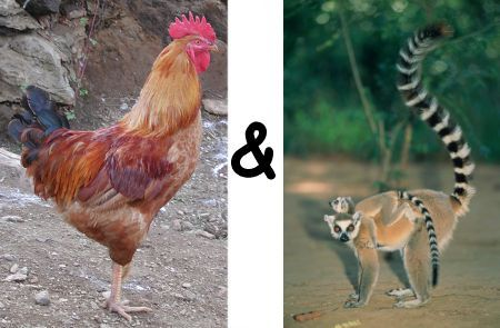 cockandtailanimals